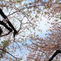 K-POP桜エンディングが韓国に桜文化を定着させた!その影響は?